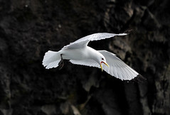 Kittiwake  Faroe Islands (dr brewbottle) Tags: faroeislands birdinflight