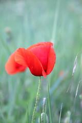 IMG_0260 (FaSaNt) Tags: poppy poppies redpoppy grass macro macrophotography desktop red field flower mayflower springflower