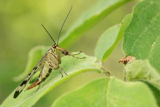 Skorpionsfliegenweibchen - Panorpidae