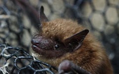 Little brown bat (Myotis lucifugus): read description! (phl_with_a_camera1) Tags: little brown bat myotis lucifugus read comment