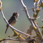 Sedge warbler (Acrocephalus schoenobaenus) thumbnail