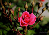 flower (ylmzdgn88) Tags: flower pink plant nature green blooming