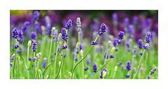 Purple Scent (paulinecurrey) Tags: purple blur bokeh lavender preciouspurple smileonsaturday contrast