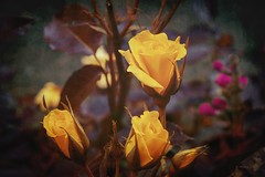 Roses .. (Julie Greg) Tags: roses nature flower park colours texture macro garden england kent france italy