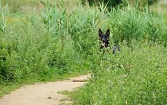 Woef ....I can see you !!!! (wilma HW61) Tags: hond dier animal beast tier dog cane chien hund animale gras grass natuur nature natur naturaleza nederland niederlande netherlands holland holanda paysbas paesibassi paísesbajos europa europe outdoor wilmahw61 wilmawesterhoud herdershond sheepdog chiendeberger canedapastore schäferhund