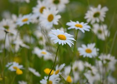 Summer meadow! (Nina_Ali) Tags: flowers meadow flora bokeh depthoffield nina ali ninaali