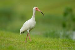 White Ibis (Earl Reinink) Tags: bird wadingbird animal ibis whiteibis grass green earl reinink earlreinink nature wildlife daadduodza
