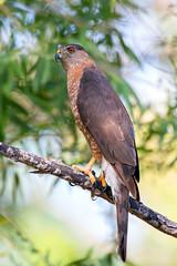 Copper's Hawk (Ed Sivon) Tags: america canon nature lasvegas wildlife wild western southwest desert clark county vegas flickr bird birdofprey henderson nevada