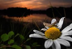 Grasshopper (Eifeltopia) Tags: grashüpfer grasshopper flower blüte margerite blossom südeifel weitwinkel makro macro pond weiher sonnenuntergang sundown wideanglemacro lecriquetduettiste cortippobruno nature rorschachtest water rlp habitat insect insekt closeup