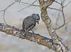 Oak Titmouse (Baeolophus inornatus) (Ron Wolf) Tags: baeolophusinornatus nationalpark oaktitmouse paridae pinnaclesnationalpark bird nature wildlife california