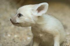 fennec artis BB2A0470 (j.a.kok) Tags: fox vos fennek fennec woestijnvos dessertfox artis animal africa afrika canine mammal zoogdier dier predator