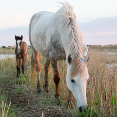 La Camargue au printemps (Xtian du Gard) Tags: xtiandugard camargue printemps cheval chevaux horse poulain goldenhour crinblanc