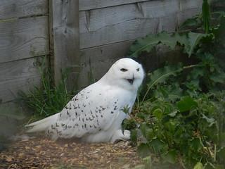 Snowy Owl, Highland Wildlife Park, Kincraig, May 2018