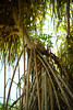 Di Roots Rockin Cat (Poocher7) Tags: rootsrocking roots tree spiderplantlooking cat wildcat straycat tabbycat hiding lookout watchful jamaica westindies caribbean