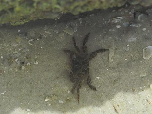 Shore Crab, Suborder Pleocyemata