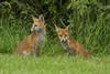 FOXES (_jypictures) Tags: animalphotography animals animal canon7d canon canonphotography wildlife wildlifephotography wiltshire nature naturephotography photography pictures foxes ukwildlife