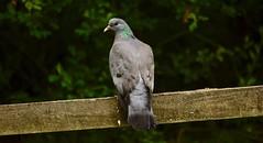 Dove (_J @BRX) Tags: dove stockdove goldenacrepark bramhope leeds yorkshire england uk june spring 2018 bird adeldam yorkshirewildlifetrust nature nikon d5200