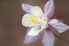 belle de jour (christophe.laigle) Tags: christophelaigle fleur macro ancolie nature flower fuji nantes columbine parcdelaroseraie xf60mm xpro2 macroflowers