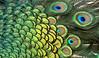 Green (Nephentes Phinena ☮) Tags: pfau peacock nikond500 sigma50500mmf463