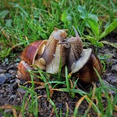 Snails (ovidiumarcu1994) Tags: day rain nature snails