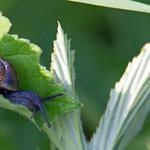 snail - Cullompton Leat Fields, Devon - 18 May 2018 thumbnail