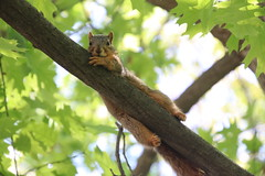 348/365/3635 (May 25, 2018) - Squirrels in Ann Arbor at the University of Michigan (May 25th, 2018) (cseeman) Tags: gobluesquirrels squirrels annarbor michigan animal campus universityofmichigan umsquirrels05252018 spring eating peanut mayumsquirrel juveniles juvenilesquirrels 2018project365coreys yeartenproject365coreys project365 p365cs052018 356project2018