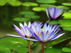 early  summer pond (oneroadlucky) Tags: nature plant flower lotus waterlily green purple