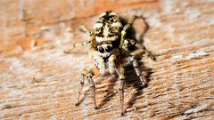 Jumping Spider (doranstacey) Tags: nature wildlife spiders spider jumping macro macrophotography nikon d5300 nikkor 40mm micro f28g