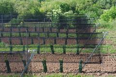 Limberg (Harald Reichmann) Tags: niederösterreich limberg oberhohenstein weinbau landwirtschaft reihe zeile weinstock technik schutz netz effizienz alltagskunst installation intervention