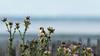 Chardonneret élégant (Carduelis carduelis) (bertrandguimberteau) Tags: bassindarcachon chardonneret andernos lesquinconces oiseaux bird