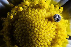 Pollen Pool... (Altazur) Tags: macromondays allnatural 7dwf flower daisy marguerite abstract yellow nature pollen seed spring
