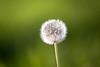 Last light (mpakarlsson) Tags: dandelion maskros vår blomma flower spring green bokeh canon canon70200 canon70200f28lll llens 5dmark3 5dmarkiii 5diii 5dm3 sweden dof