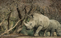 Work Again (frederic.gombert) Tags: light color animal zoo rhino grass rhinoceros mammifere sigean sunlight