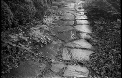 stone walkway, wet, rain, groundcover, conifer shrubs, yard, West Asheville, NC, Kodak VR35 K12, Kodak TMAX 400, Ilford Ilfosol 3 developer, 5.23.18 (steve aimone) Tags: walkway stone path pathway wet rain groundcover conifers yard wetlands northcarolina kodakvr35k12 kodaktmax400 ilfordilfosol3developer 35mm 35mmfilm film pointandshoot blackandwhite monochrome monochromatic landscape