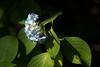 sans titre (hajime okutani) Tags: 2018 flower japan leicamp teleelmarit12890 tokyo fleur hydrangea printemps