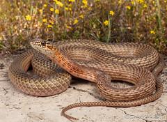 San Joaquin Coachwhip (Masticophis flagellum ruddocki) (David A Jahn) Tags: san joaquin coachwhip snake coluber masticophis flagellum ruddocki california centralvalley herp herpetology