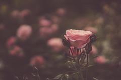 Rosa 'Ma Perkins', Rosaleda de Madrid, Parque del Oeste, Madrid (marysaesteban) Tags: 7dwf 1952 2018 boerner españa floribunda madrid may parquedeloeste rosa rosama perkins rosaledademadrid rose spain usa mayo pink primavera rosaceae spring