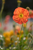 Battered Beauty (mclcbooks) Tags: flowers floral poppy poppies denverbotanicgardens colorado spring