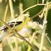 DSC_8847.jpg American Goldfinch, Yolo Bypass