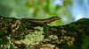 Lizard in Pardise (Migge88) Tags: seychellen urlaub eidechse natur urwald grün reptil tier animel jungle lizard moos moss augen eyes nahaufnahme wald tree forest baum ast twig makro unschärfe focus sony alpha 6500