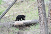 Black Bear cub (adbecks) Tags: black bear cub nikon wildlife yellowstone bears spring d500 200500
