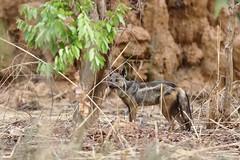 Side-striped jackal (Jonas Van de Voorde) Tags: pendjari benin westafrica jonasvandevoorde safari wildlife nature animals canisadustus sidestripedjackal chacalàflancsrayés