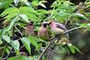 DSC_5966B (The Real Maverick) Tags: highpark torontoparks toronto ontario canada outdoors spring nikon cedarwaxwings
