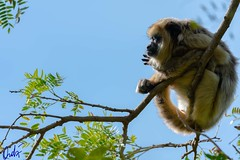 Mono Carayá - Caraya monkey (Alouatta caraya) (wedoph) Tags: 2018 formosa fauna nikon nikkor500f4 argentina nikond500 monkey caraya selva forrest animalplanet planetaanimal