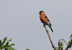 Male Bullfinch (themadbirdlady) Tags: passeriformes fringillidae pyrrhulapyrrhula commonbullfinch edinburghairport