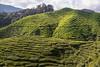 malaysia-6702 (ericvdb) Tags: cameronhighlands highlands teaplantation plantation malaysia