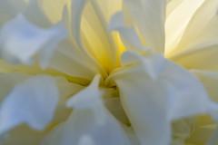 On The Inside (Kevin Tataryn) Tags: macro flower peony delicate light nikon d500 tokina 100mm