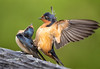 Hanky panky - Explored (alicecahill) Tags: california usa wild wildlife ©alicecahill marincounty swallow bird pointreyesnationalseashore barnswallow animal
