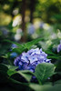 * (t*tomorrow) Tags: canon eos 5d2 55mm flower 紫陽花