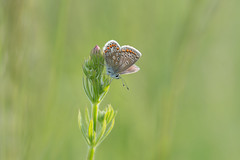 sitting pretty (Emma Varley) Tags: butterfly commonblue flower bud pink bright light sunny dreamy southdownsnationalpark june westsussex